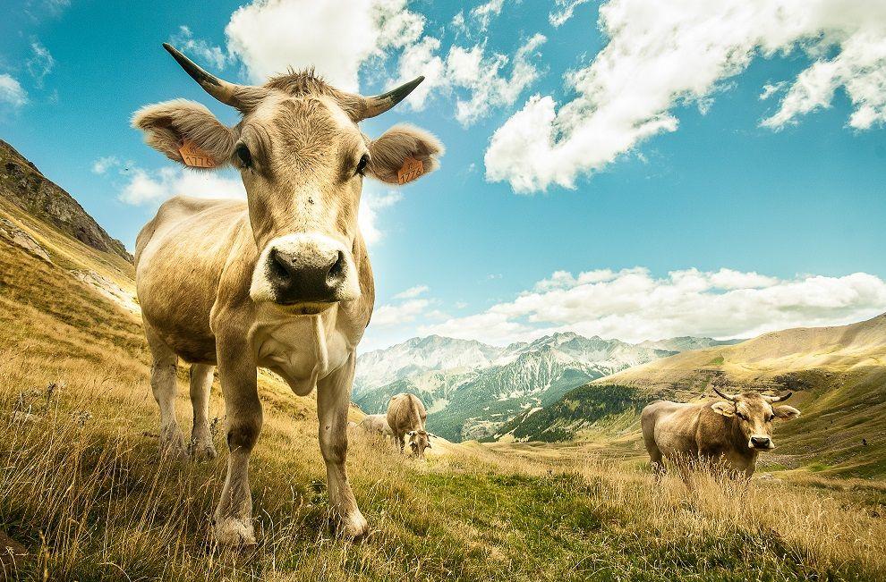 Foto de Vacuno de carne